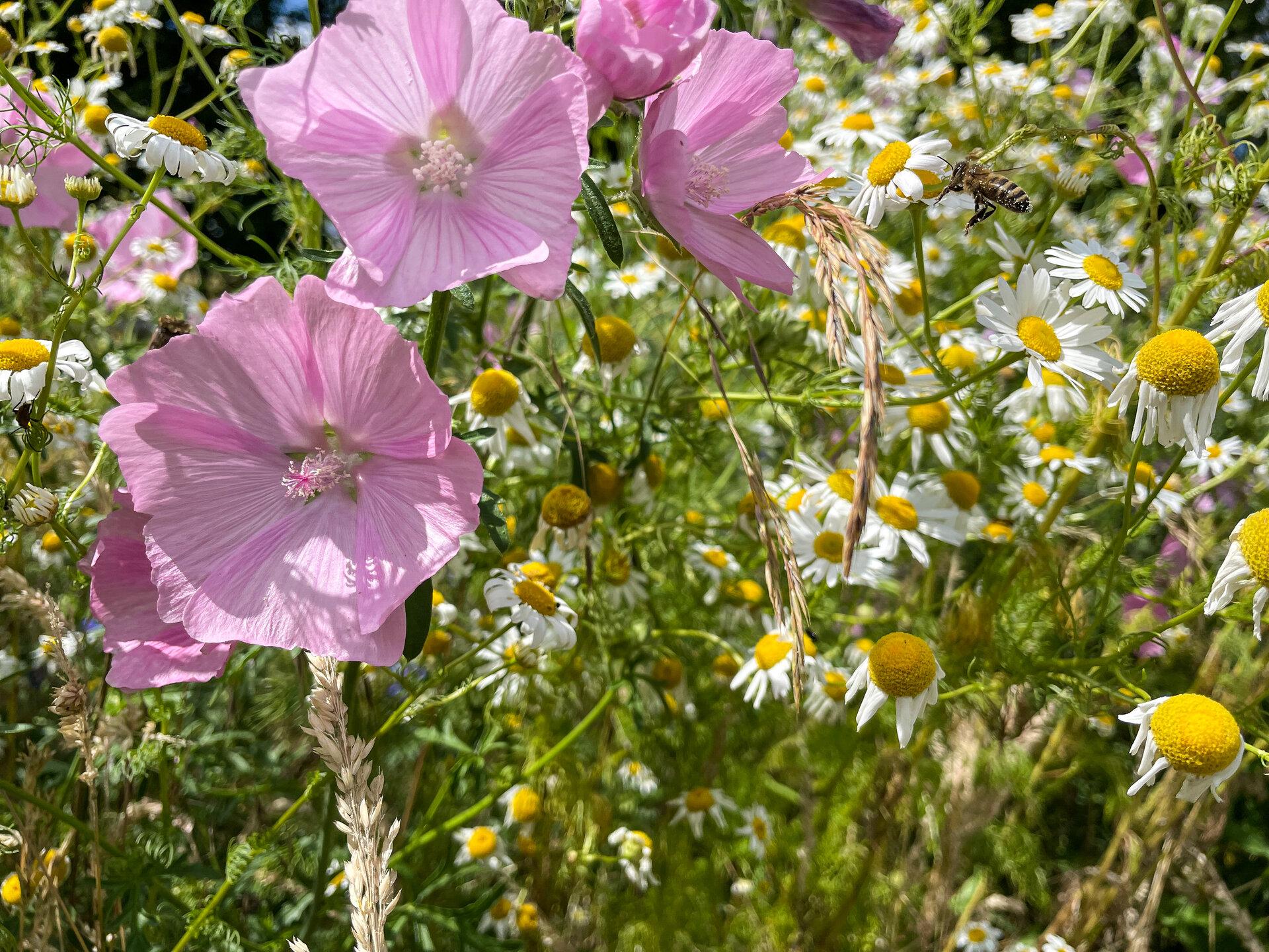 Bienenwiese am Bürgerpark. Foto: Katja Zeiger
