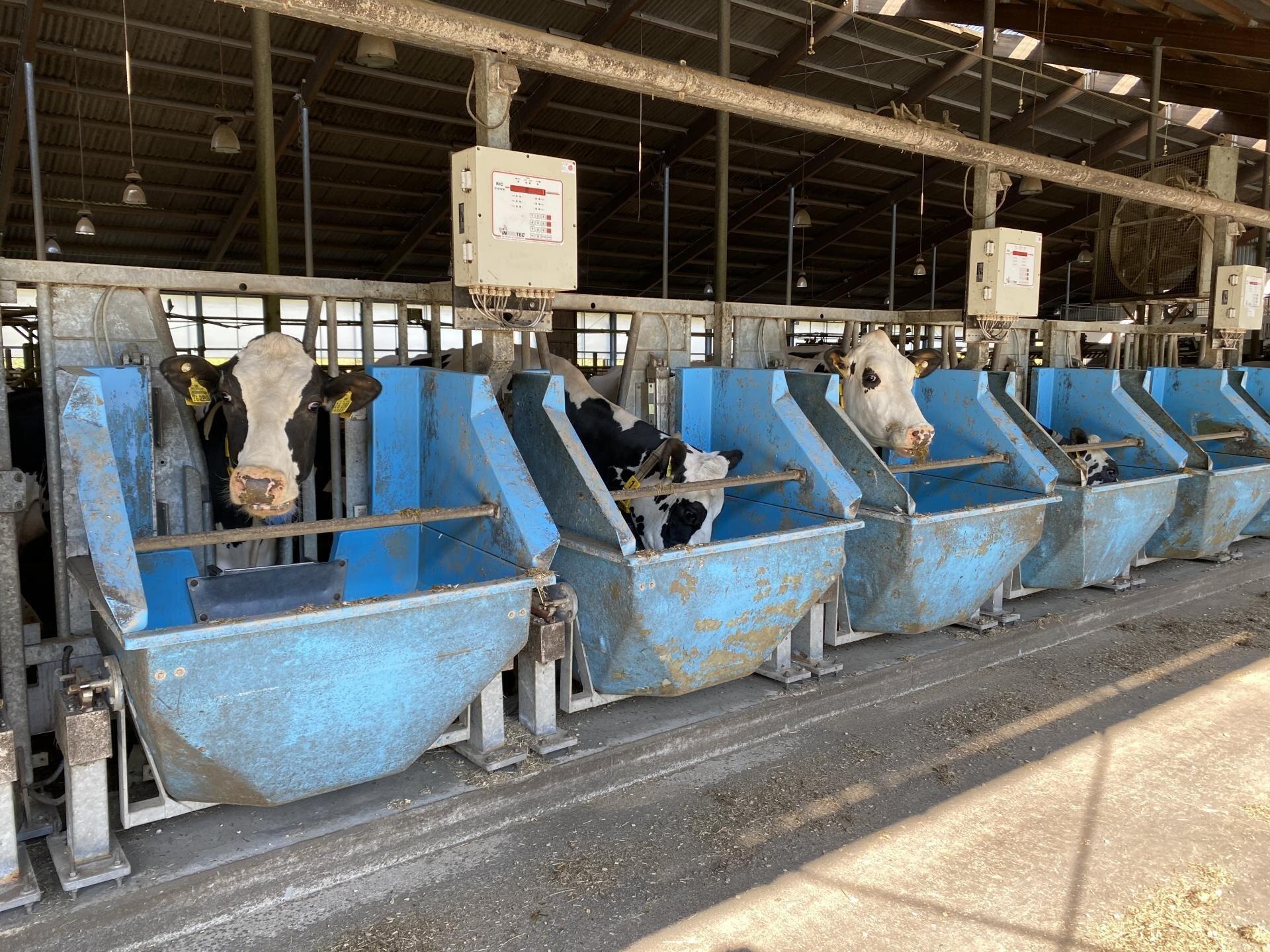Kühe im Versuchsbereich