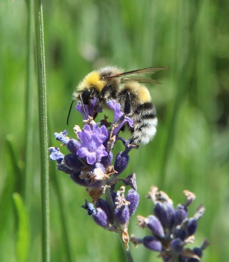 Hommeler-Lavendel