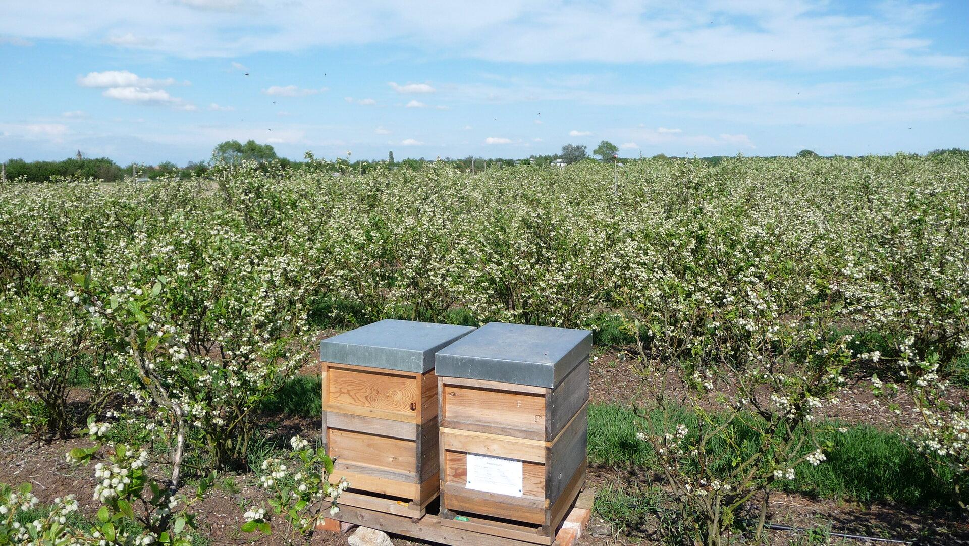 Heidelbeerenblüte durch Bienenbestäubung