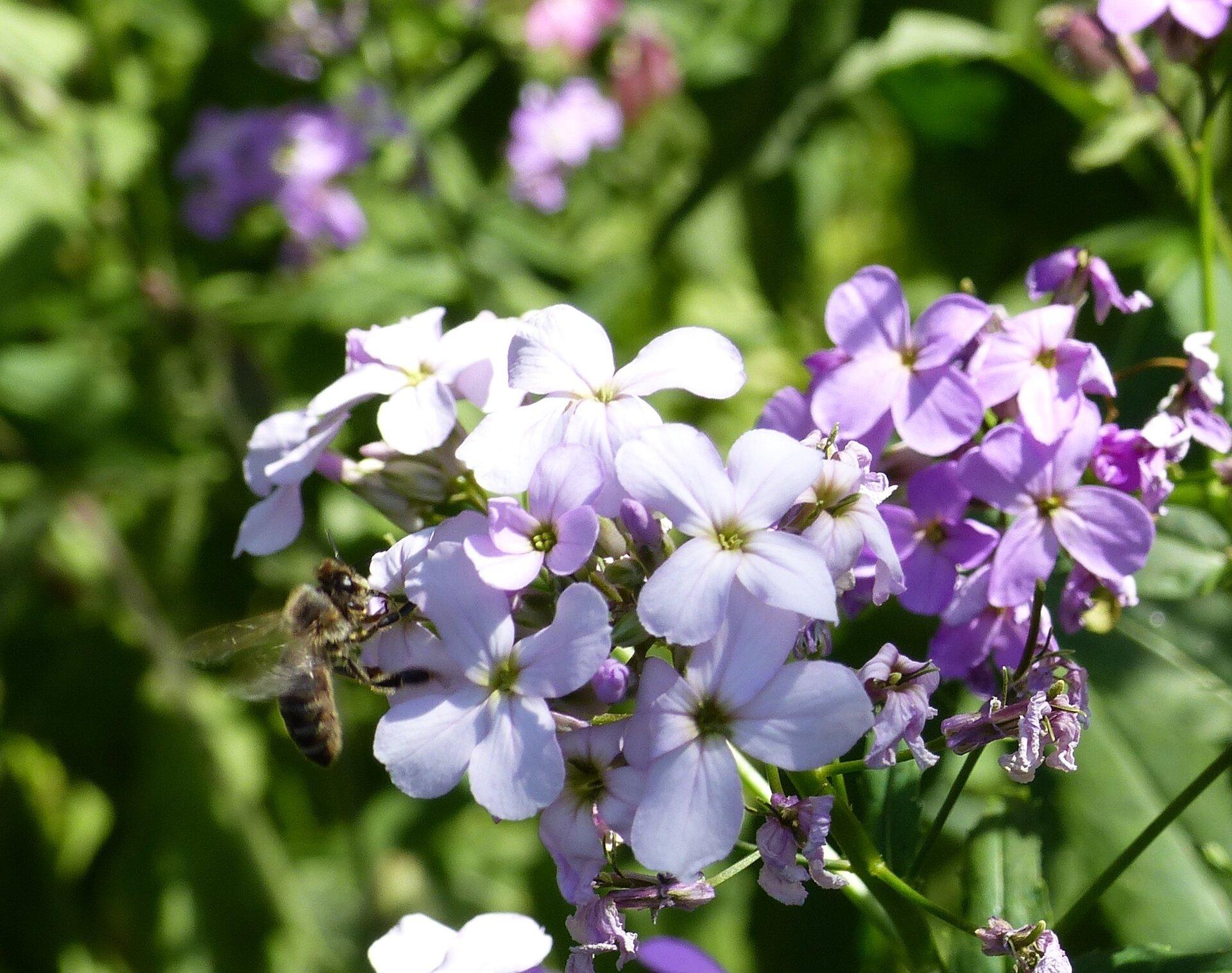 Biene auf Blühte