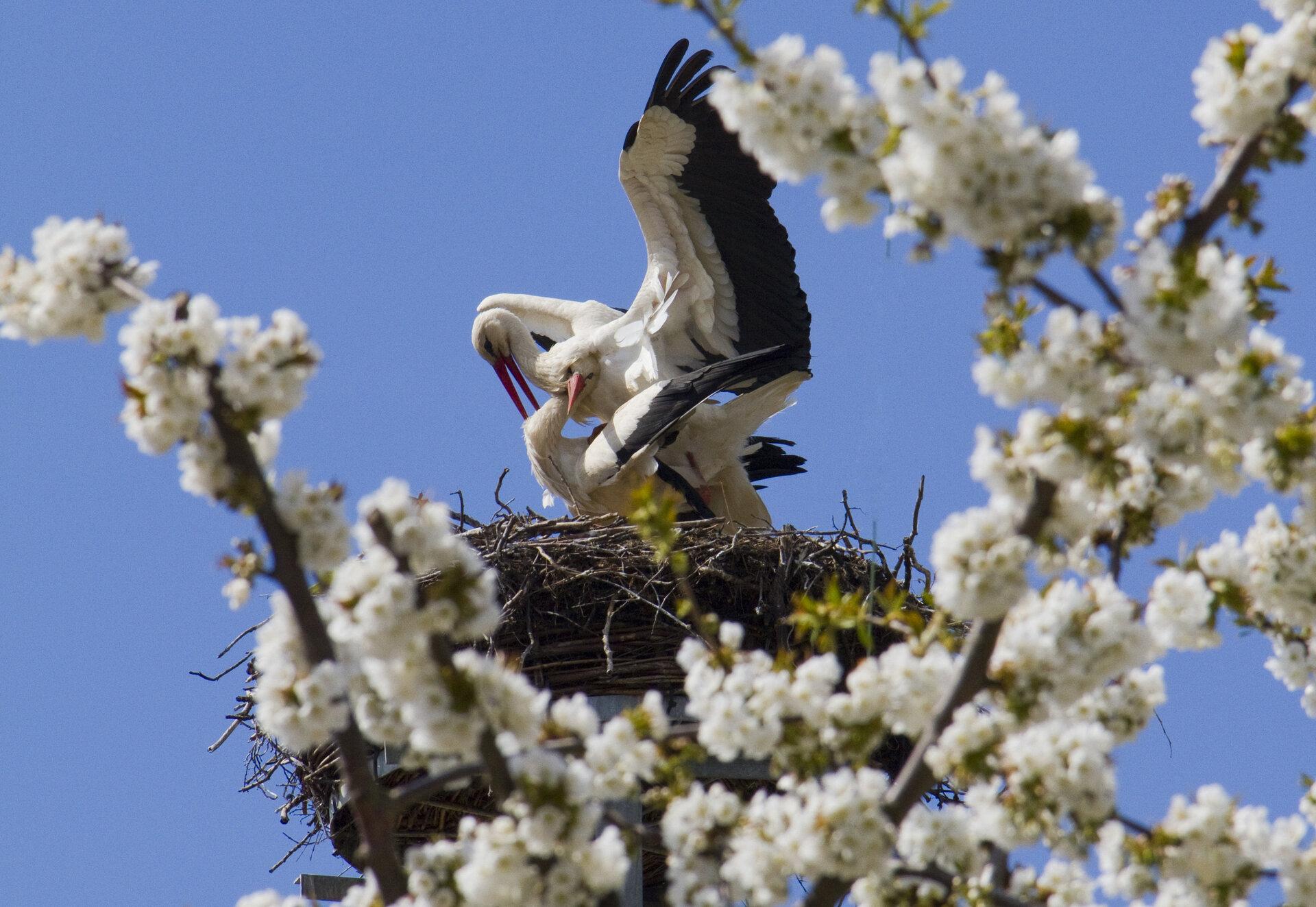 Weißstörche im Nest, Foto: Peter Becker