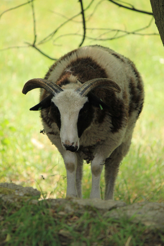 Schafe auf Tour