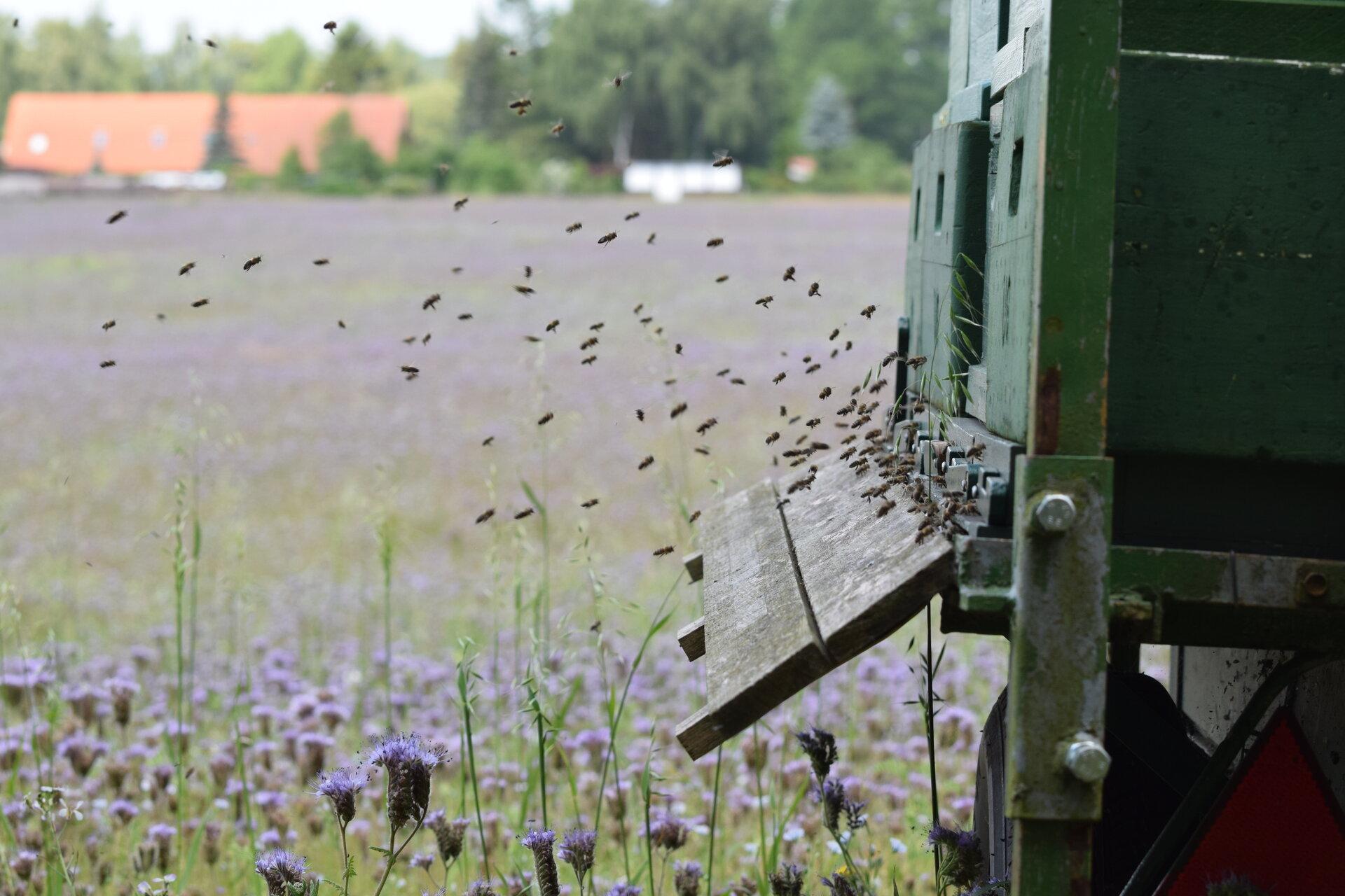Bienenweide (Foto: Amelie Vießmann)