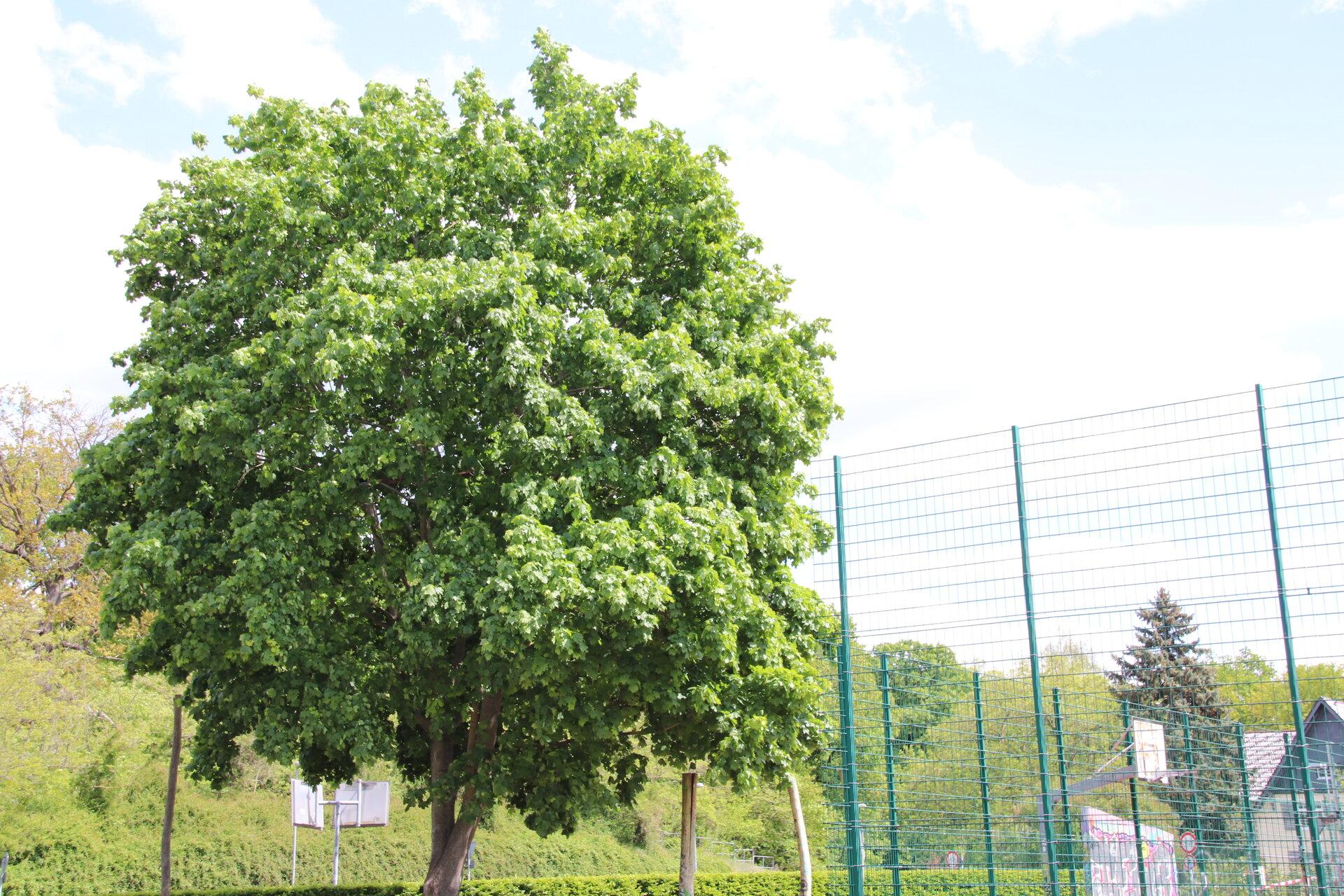 Einzelner Baum am Bolzplatz in Finkenkrug