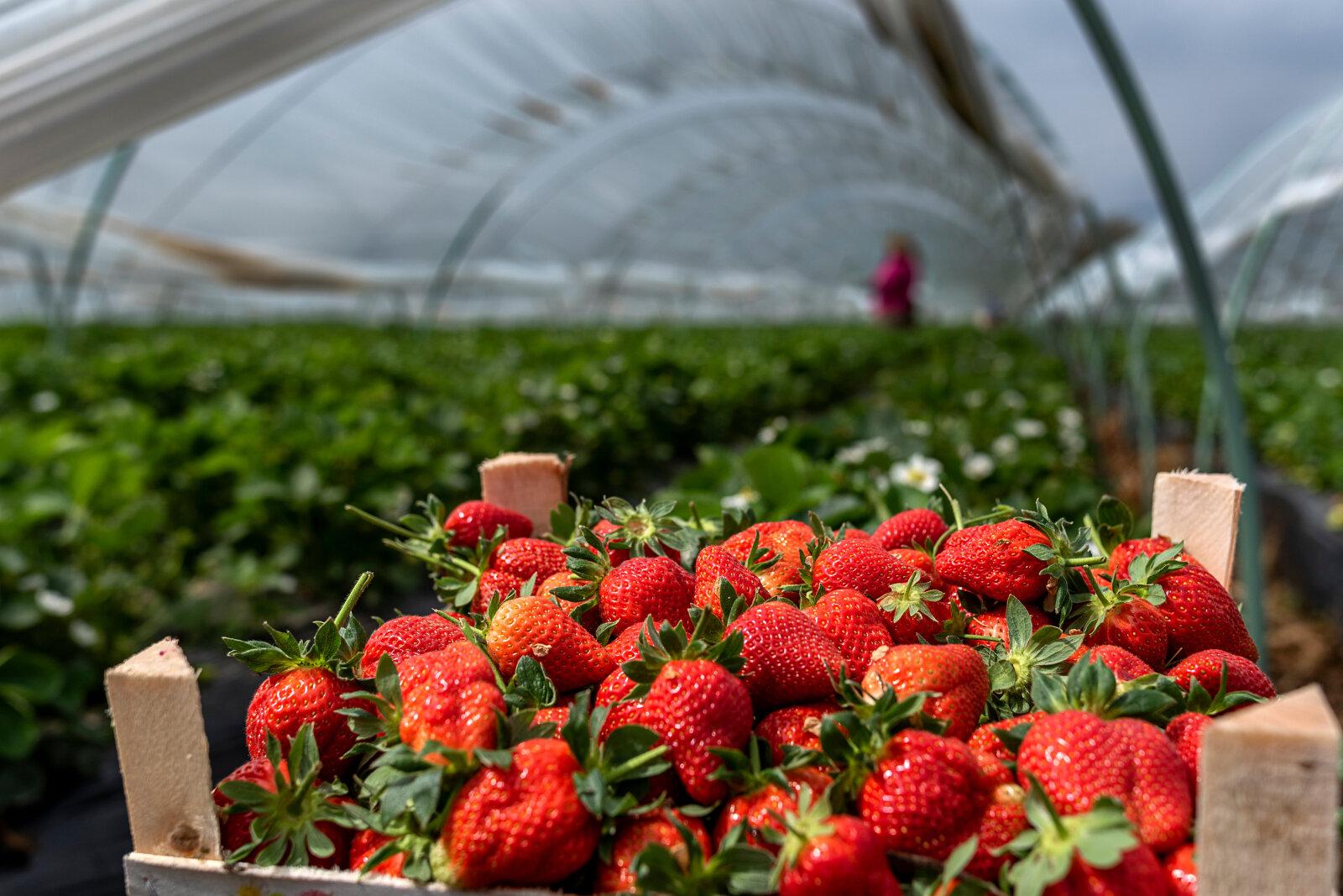 geertnete Erdbeeren