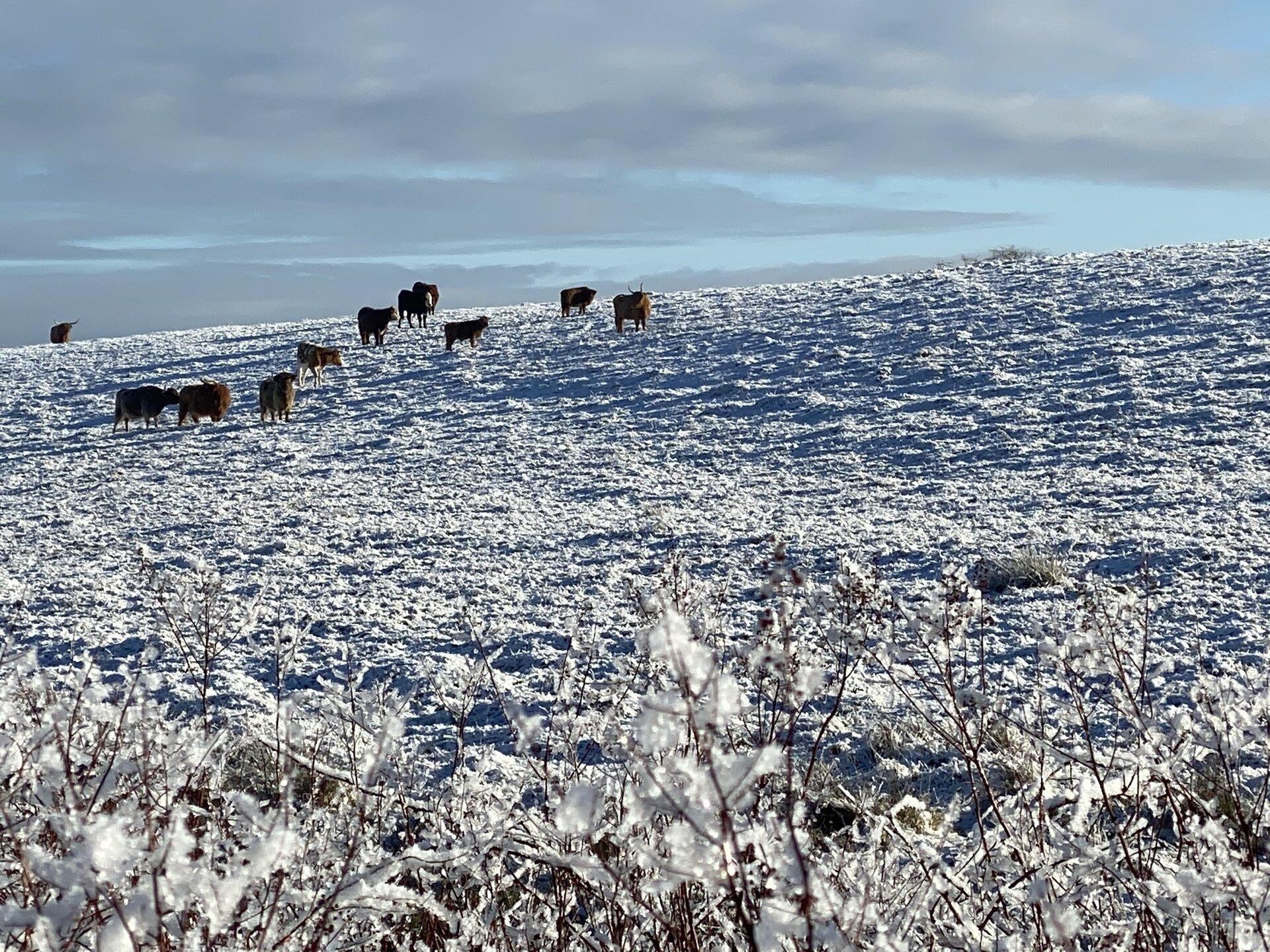 Die Rinder in der Sonne