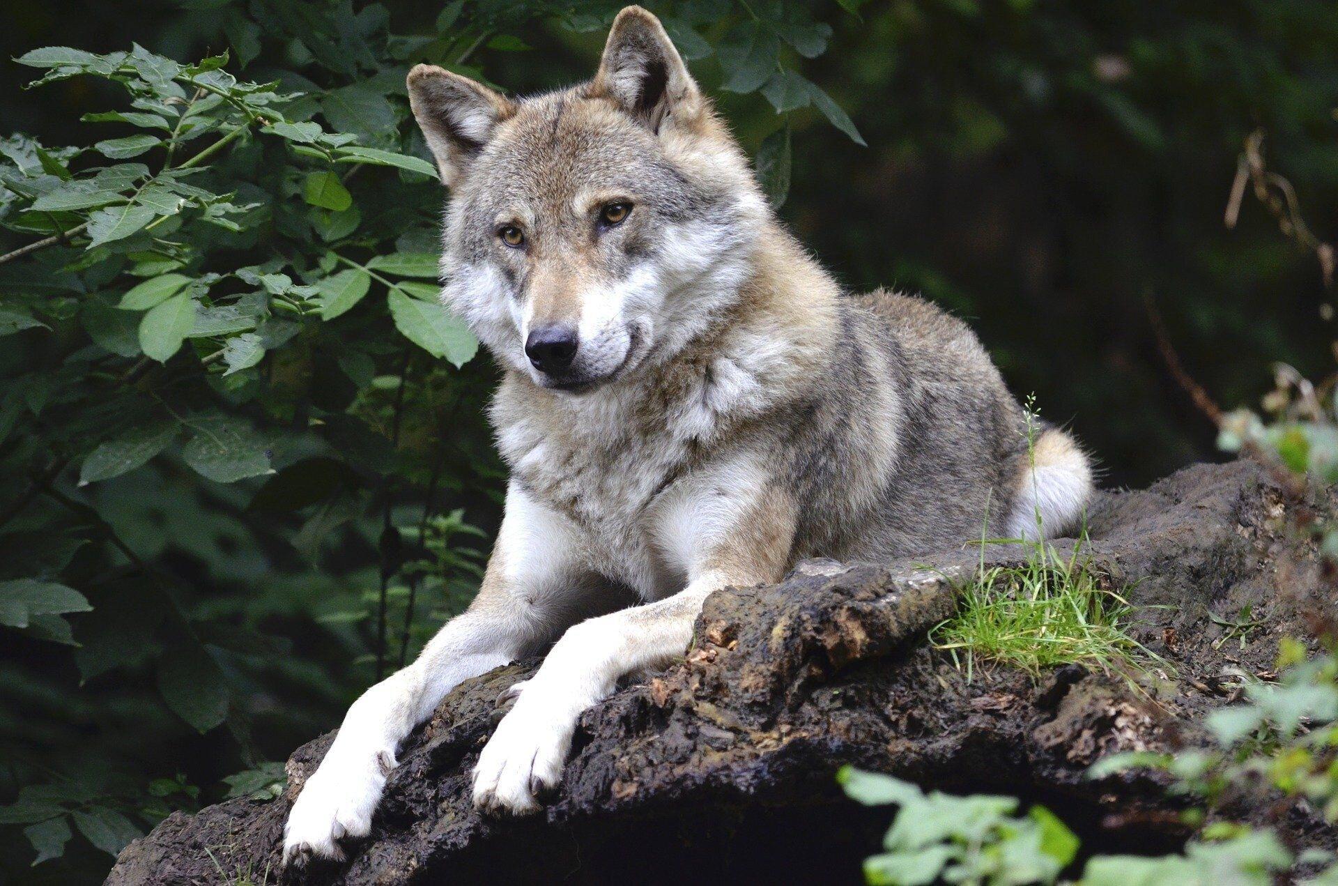 Wolf im Dickicht des Waldes. Quelle: Pixabay