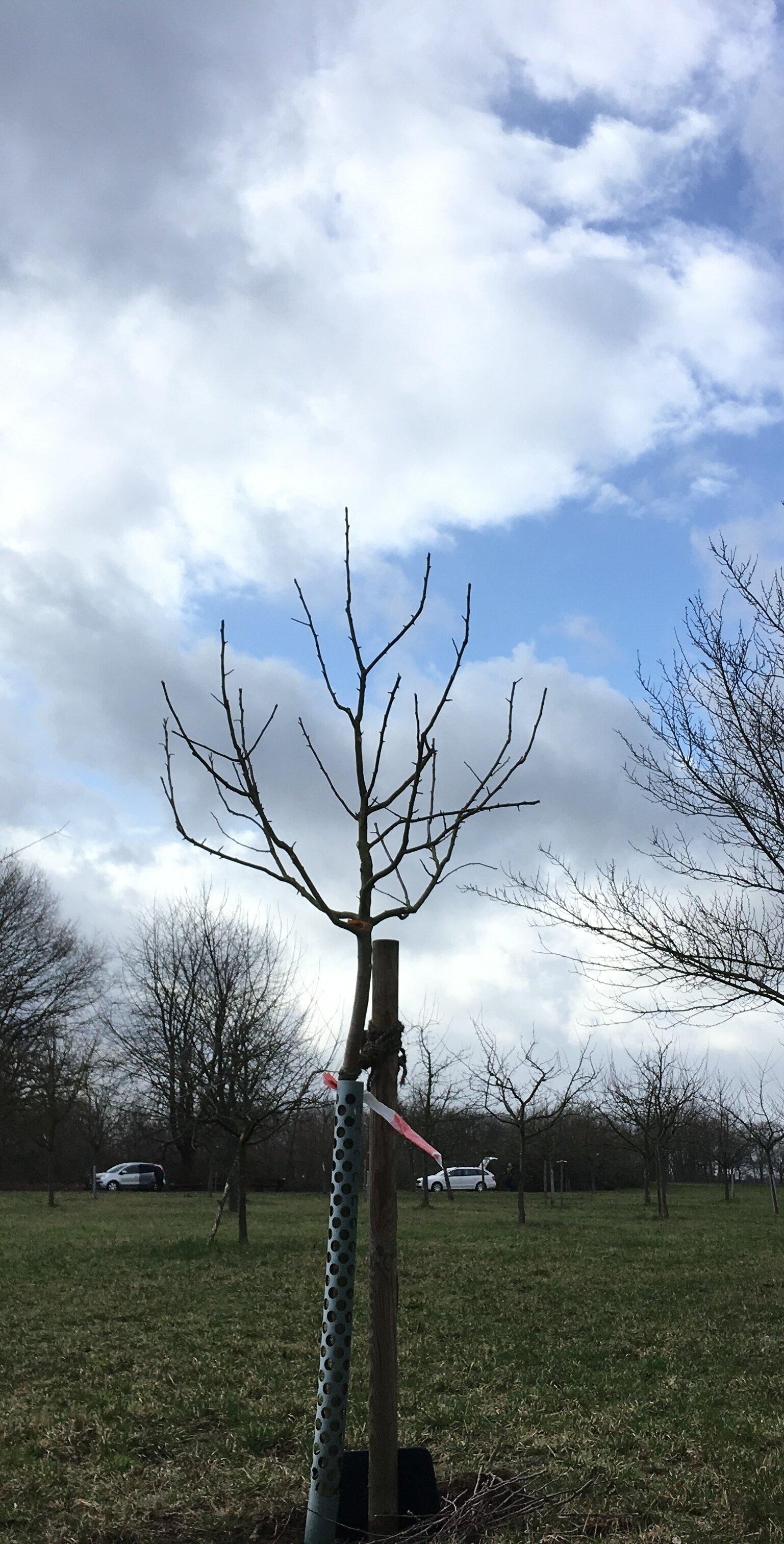 Baum 100