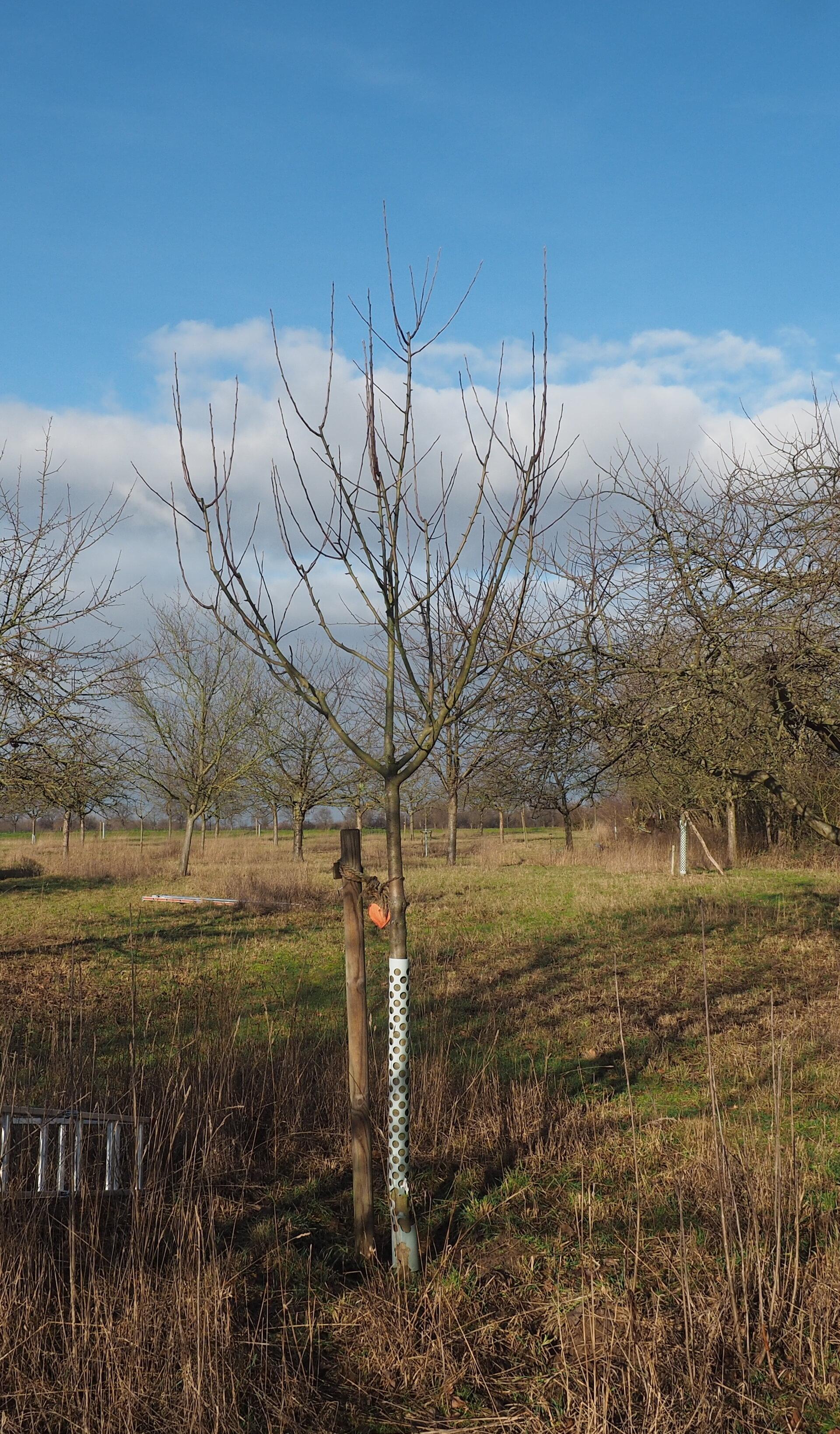 Baum 82