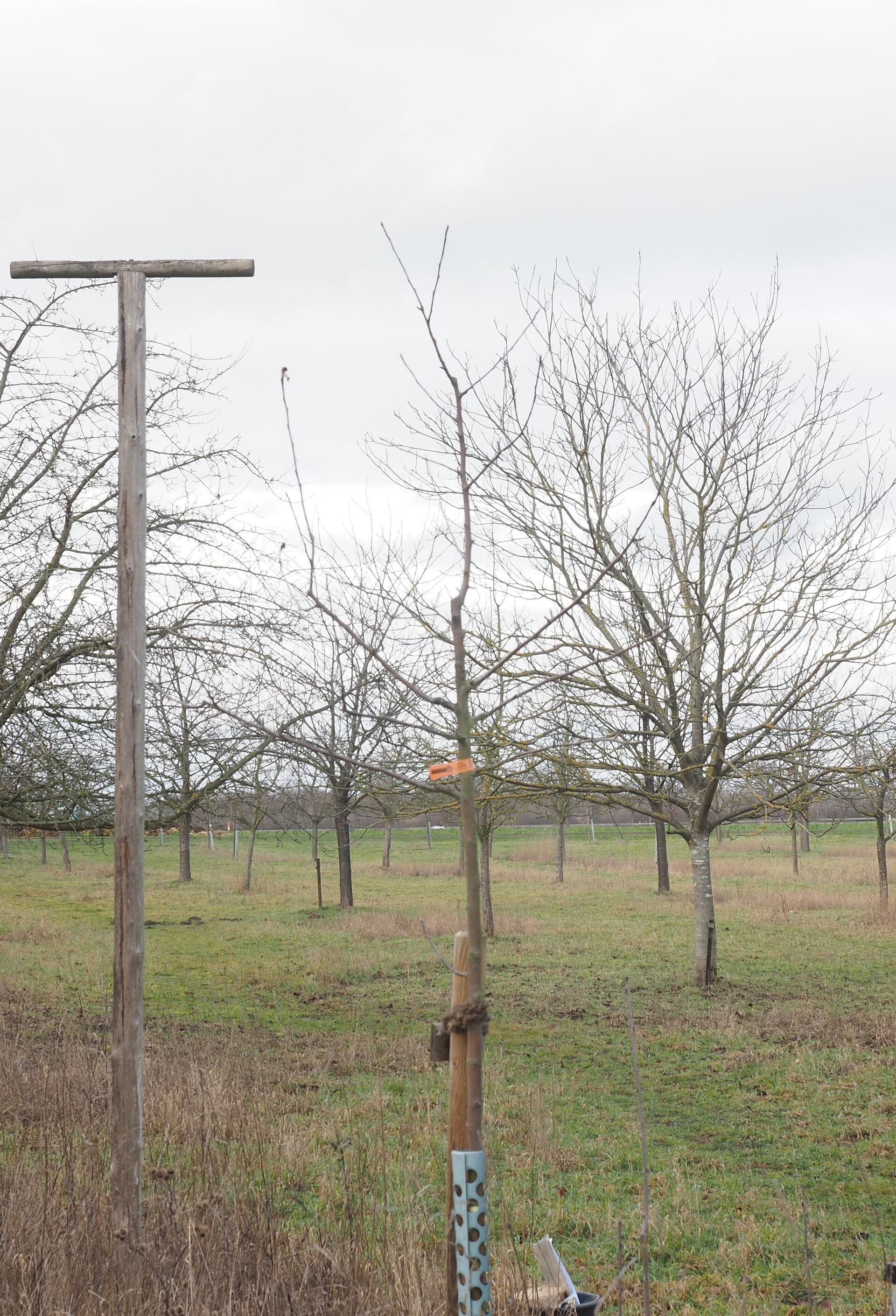 Baum 62 - Jungbaum