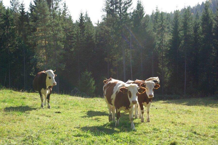 Glückliche Kühe auf der Weide