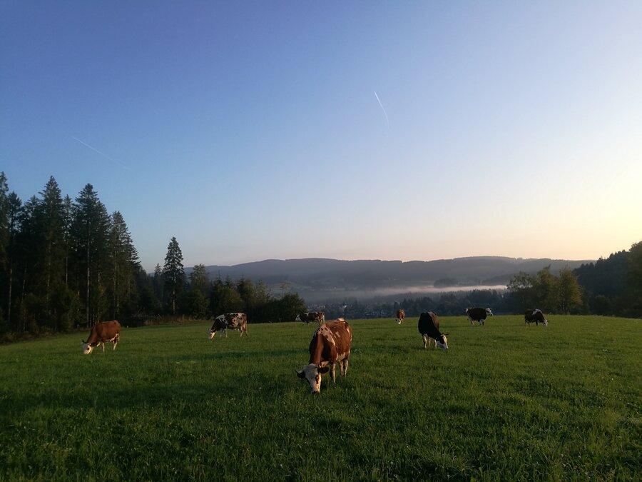 Panoramablick der Kühe