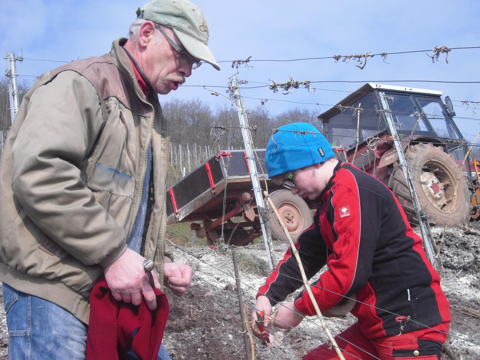 Arbeiten im winterlichen Weinberg: die Reben werden angebunden