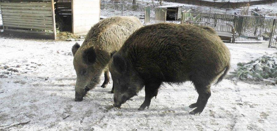 Wildschweine beim fressen