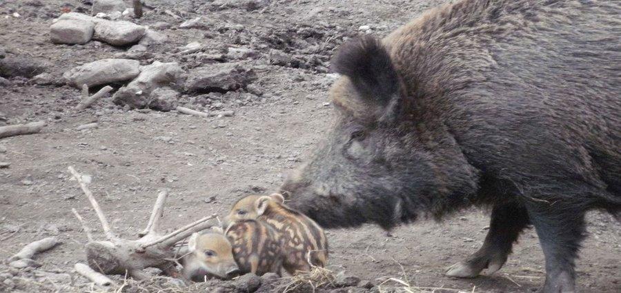 Wildschwein mit Frischlinge