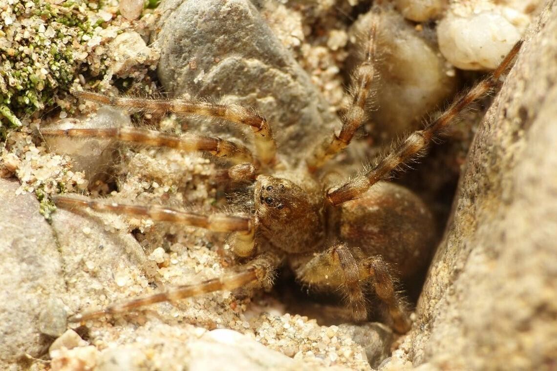 Flussufer-Wolspinnen Weibchen sitzt an ihrer Wohnröhre
