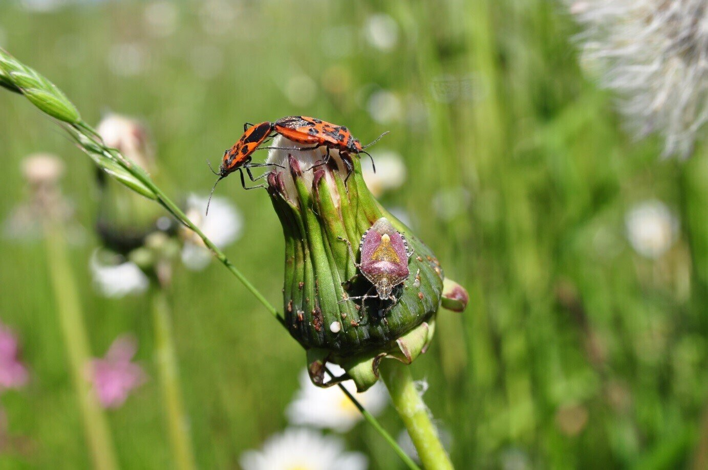 Pyrrhocoris apterus, Dolycoris baccarum (Heteroptera)