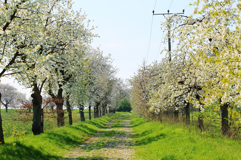 Obstallee Wedelwitz im Frühling