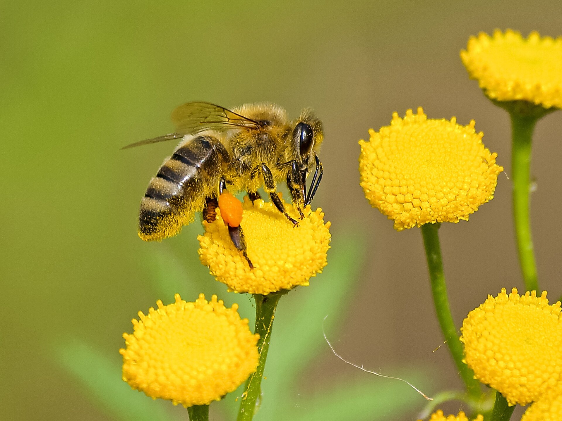 Honigbiene auf Rainfarn