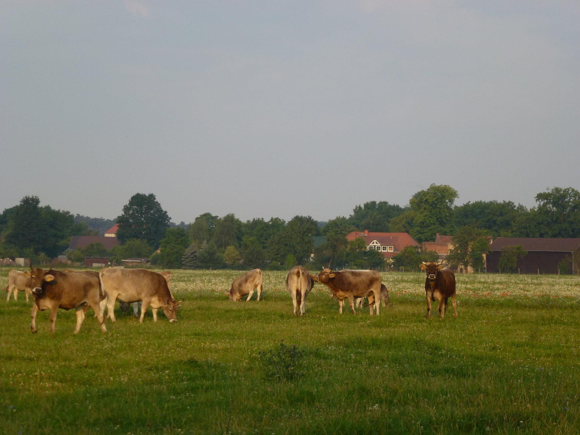 Kühe am Rotpuhl