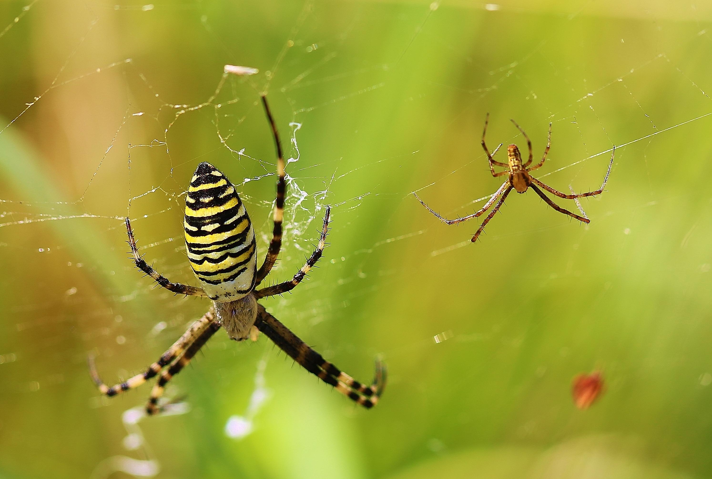 Wespenspinne weibliche (links), männliche (rechts)