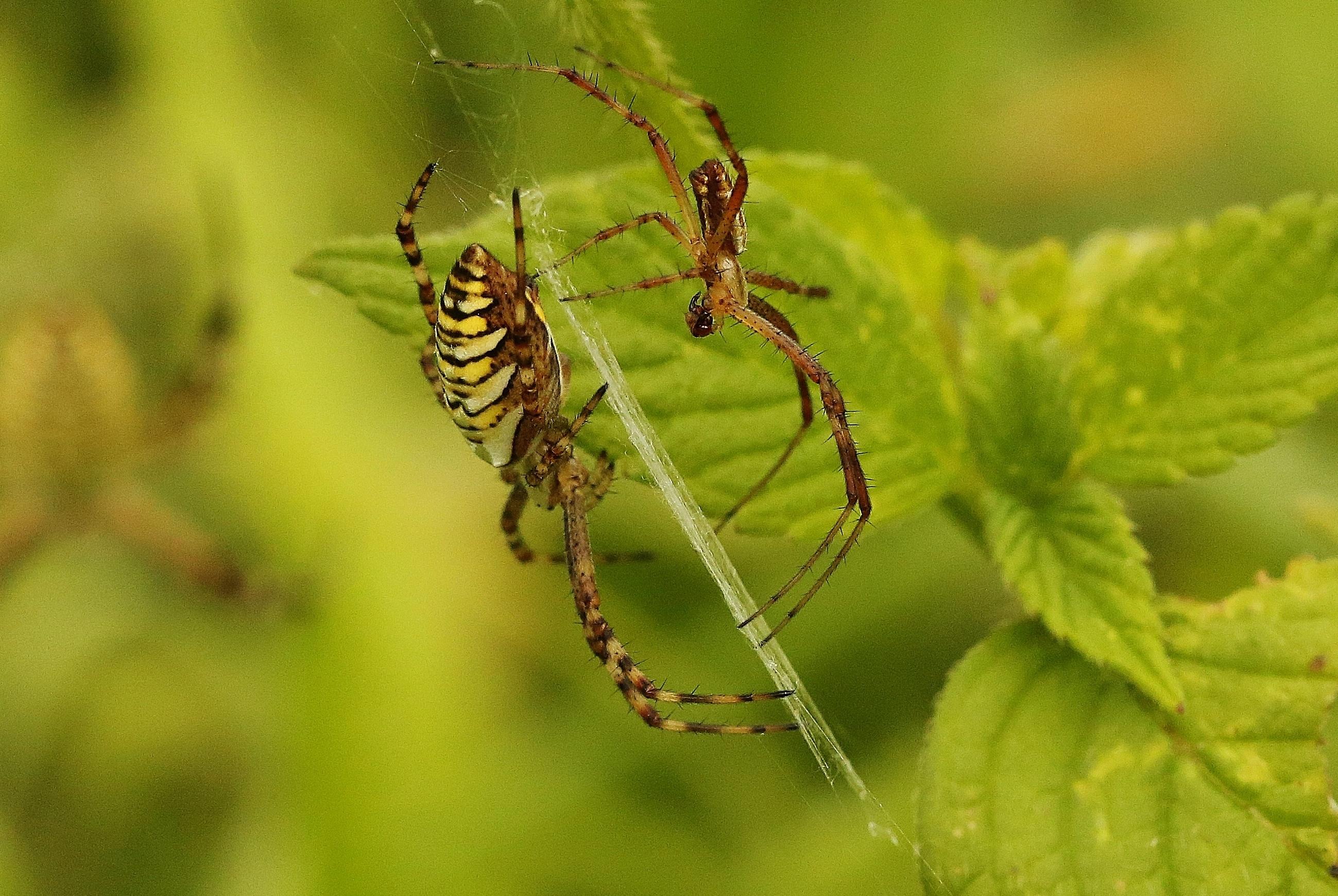 männliche und weibliche Wespenspinne bevor der Paarung