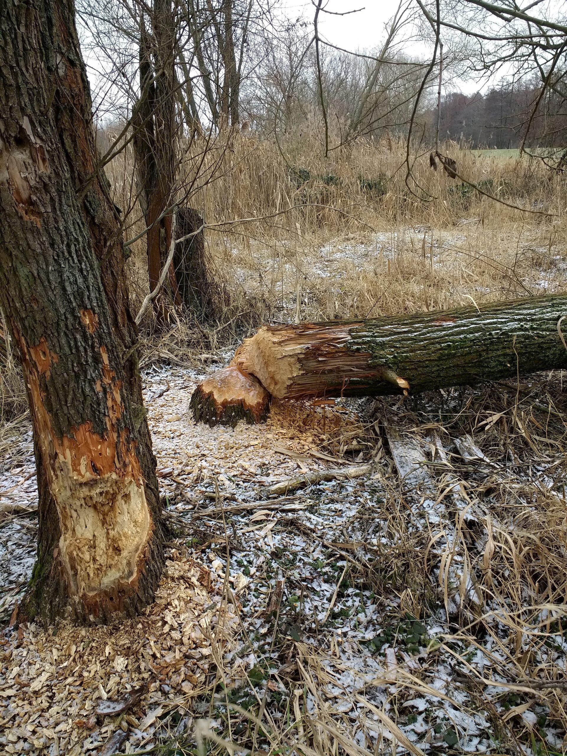 gefällter Baum1