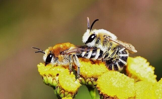 Seidenbienen bei der Paarung