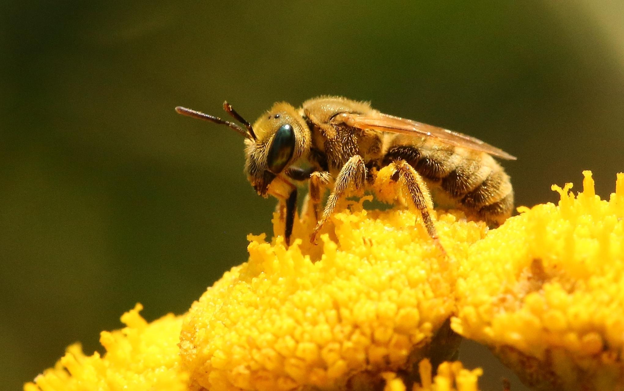 Dichtpunktierte Goldfurchenbiene