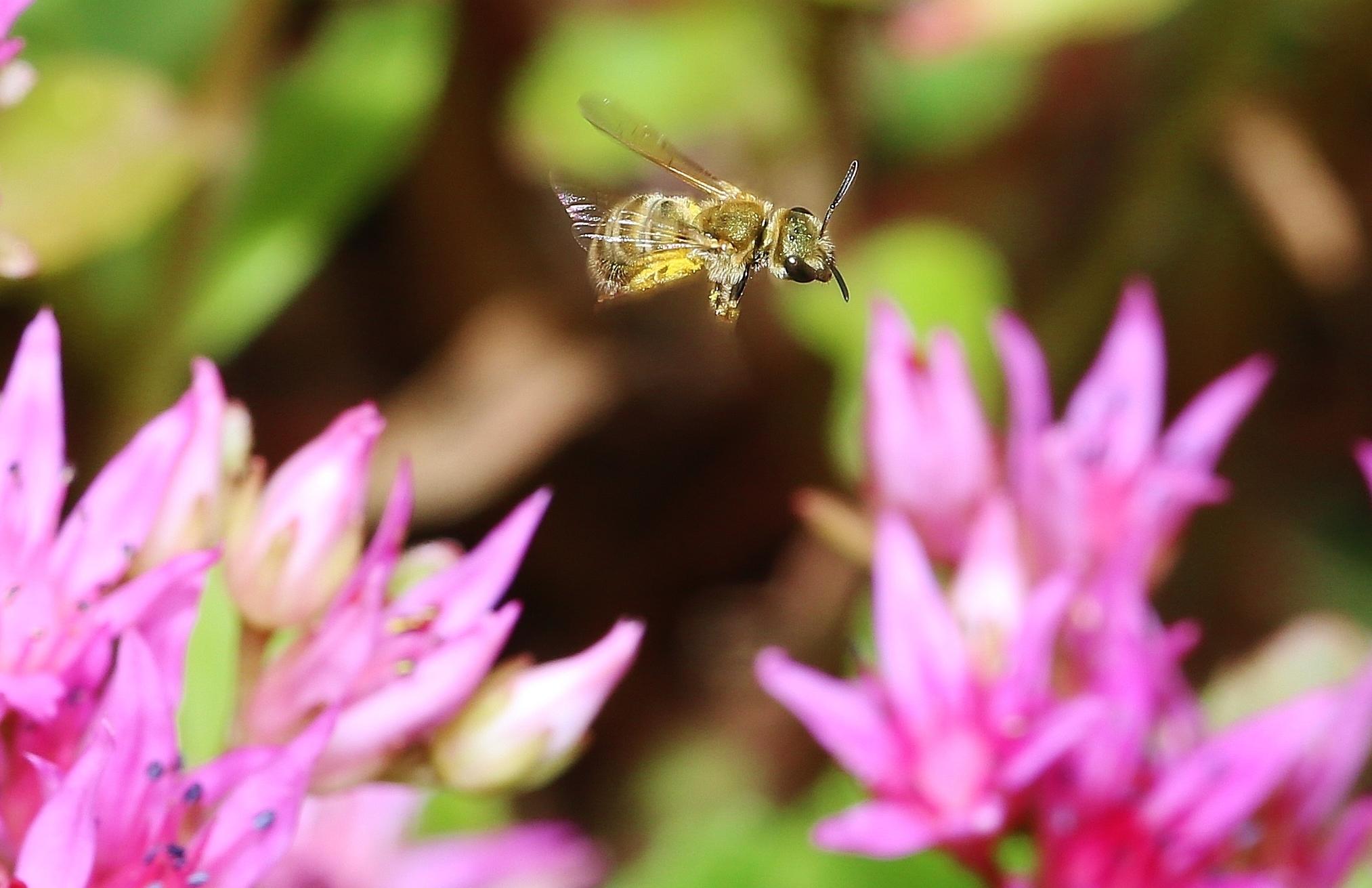 Pollen- und Nektarsammlung (Bild1)