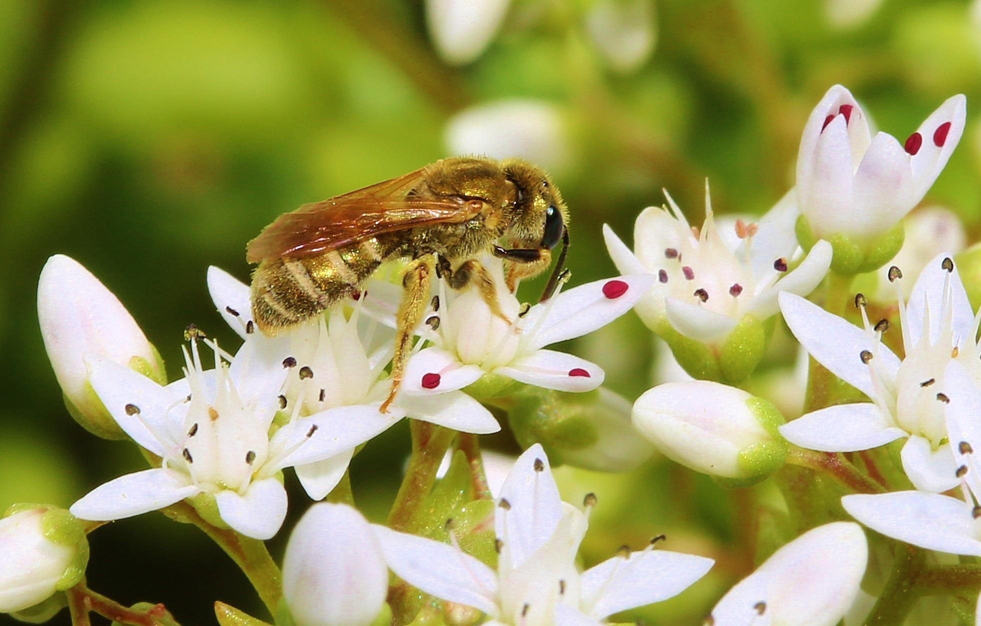 Pollen- und Nektarsammlung (Bild2)
