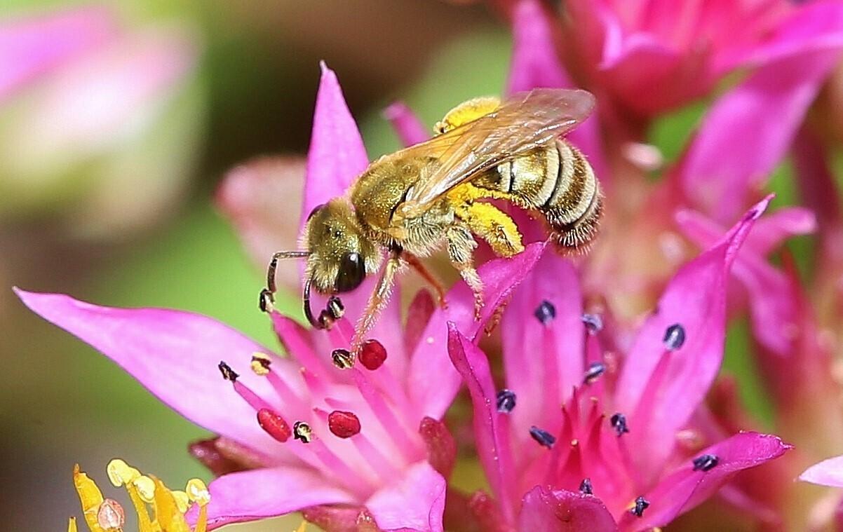 Pollen- und Nektarsammlung (Bild3)
