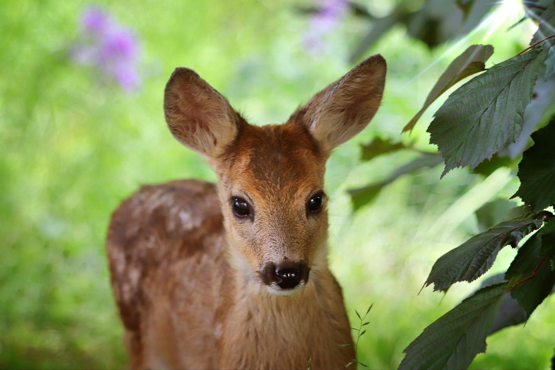 roe-deer-4344374