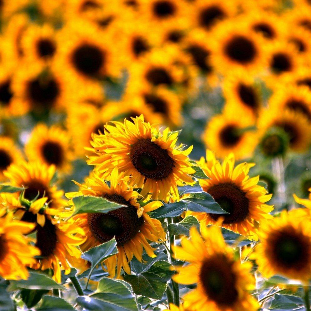 Sonnenblumenaktion Rammenau