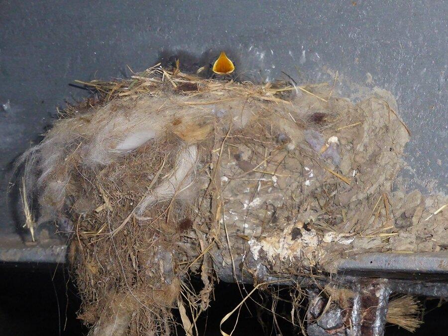 Rotschwänzchen-Nest mit Skuddenwolle