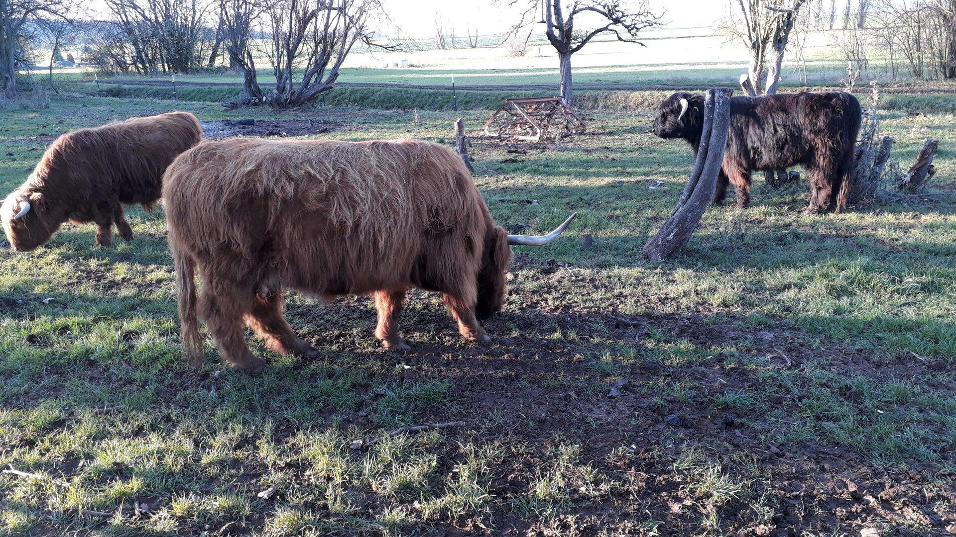 Schottische Hochland-Rinder