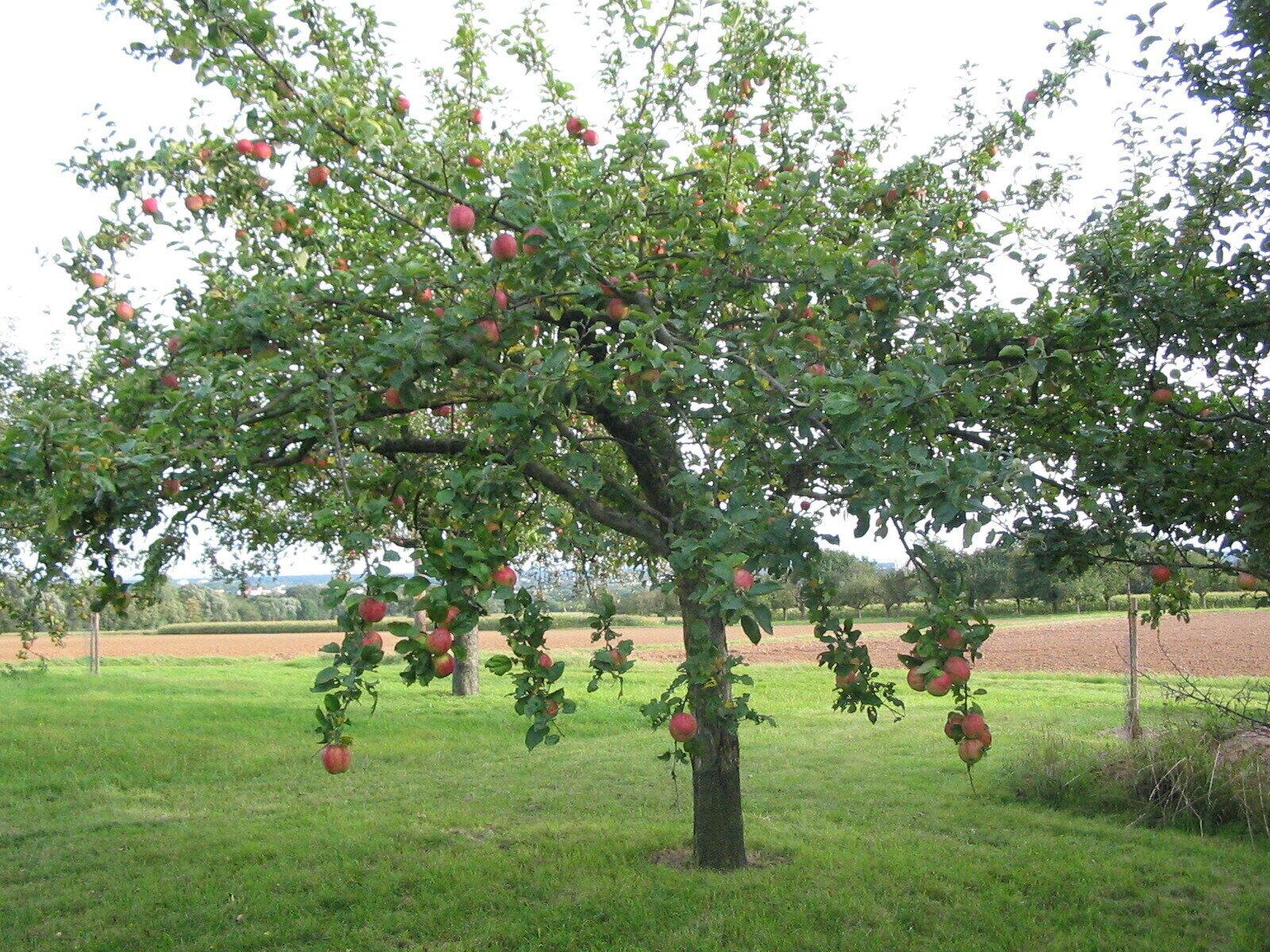 Apfelbaum auf Streuobstwiese, Foto: Stadt Maintal