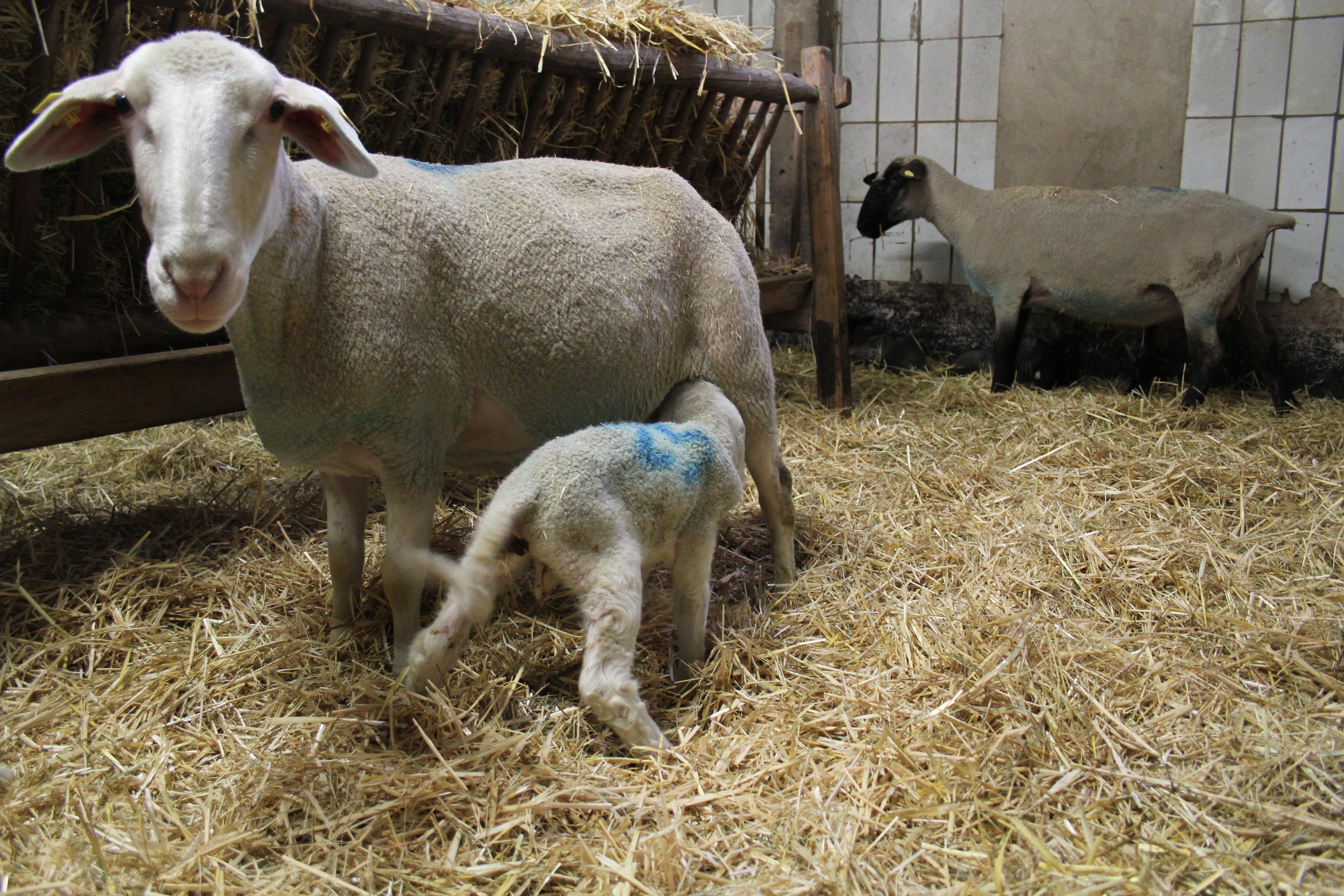 Schafe 3