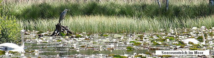 Seerosenteich im Moor