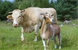 Kuh Sternchen und Ziegenbock Max