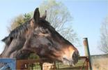 Pferd Ledda