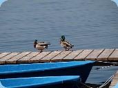 © Foto Tobias Sylvester – Enten auf dem Rangsdorfer See