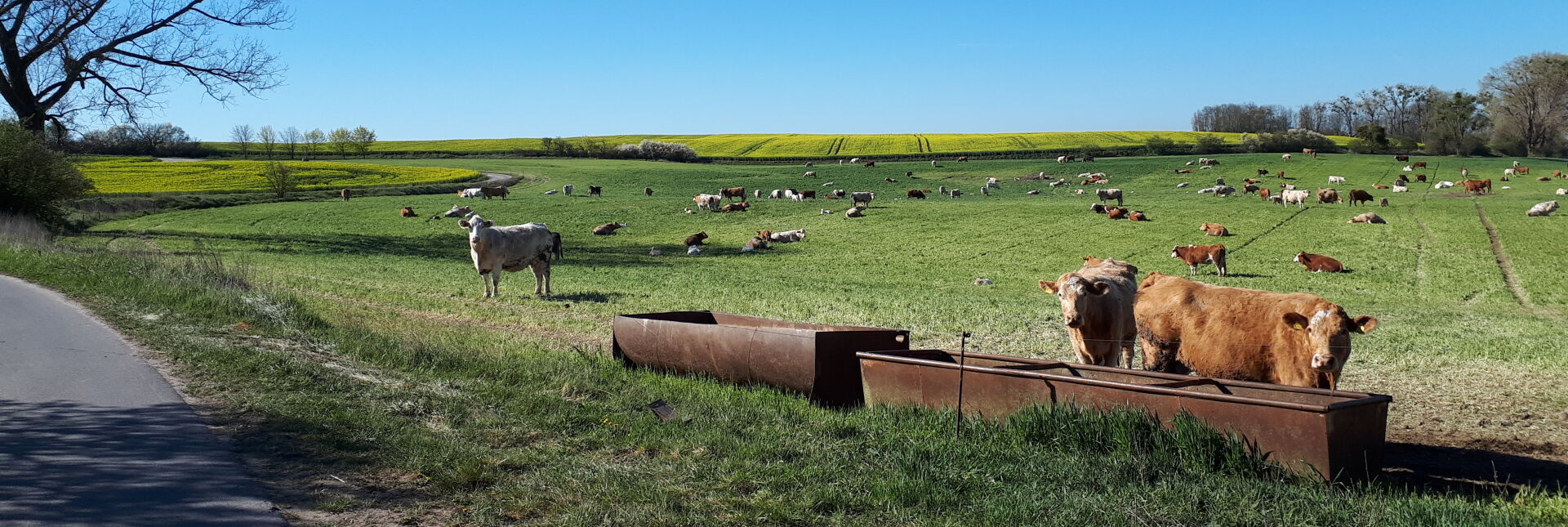 Kühe im Randowbruch