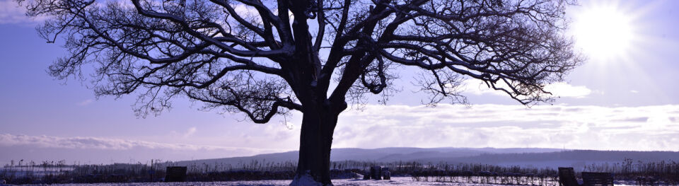 Kugelbaum im Januar 2021