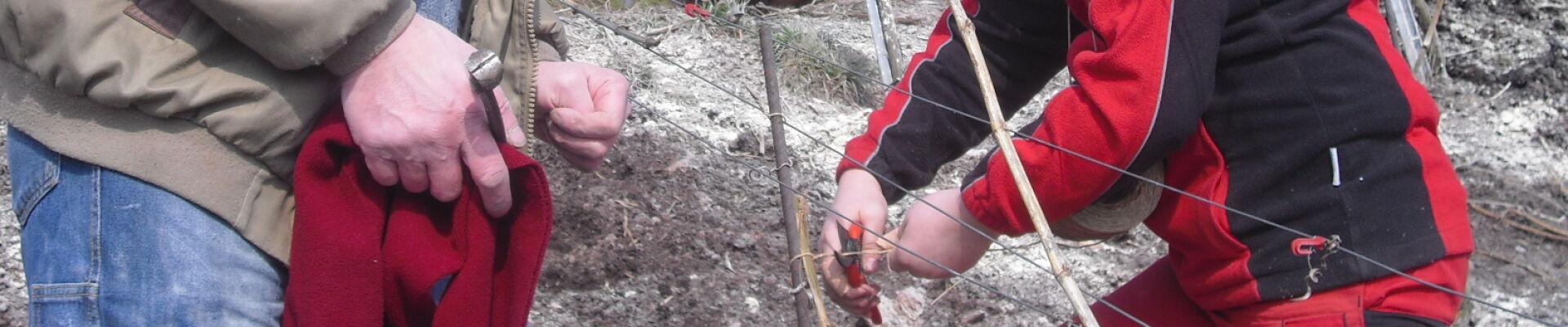 Rebschnitt und Binden in den Weinbergen vom WeinGut Benedict Loosen Erben Ürzig
