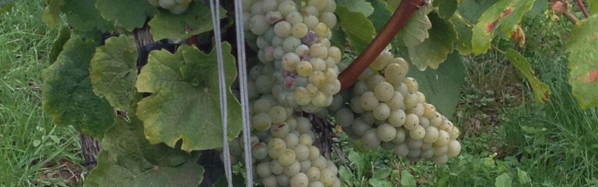 Zur Obst-+Weinernte an den Bodensee